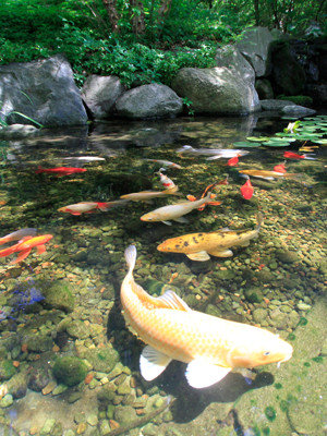 Large koi pond are perfect for having large koi fish to swim in, Poughkeepsie NY