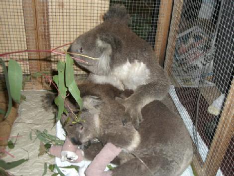 Koala Rescued in Bush Fires (2/2)
