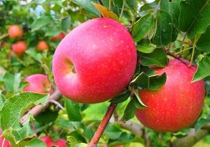 ダイカ農園りんご狩り