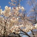 高尾山桜お花見