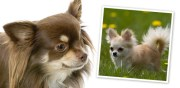 long haired chihuahua - dog