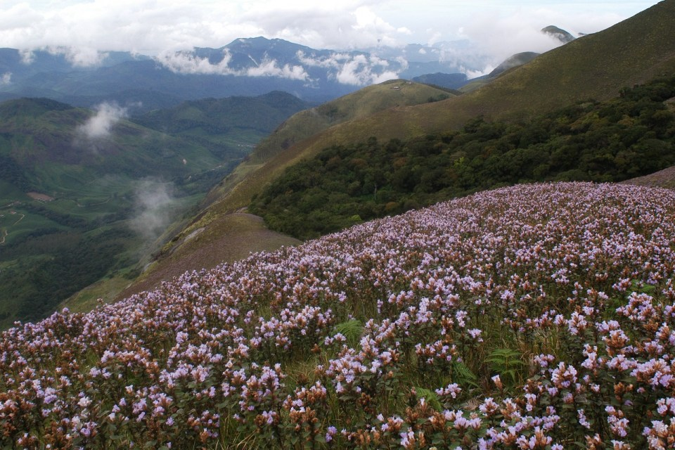 Best places to visit in Kerala - Azure sky Follows - Tania Mukherjee Banerjee - 6 Best Kept Secrets of Kerala -neelakurinji_flowers_munnar_