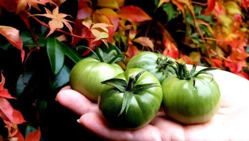 © Азурка. Урожай томата сорт Сен Пьер.
