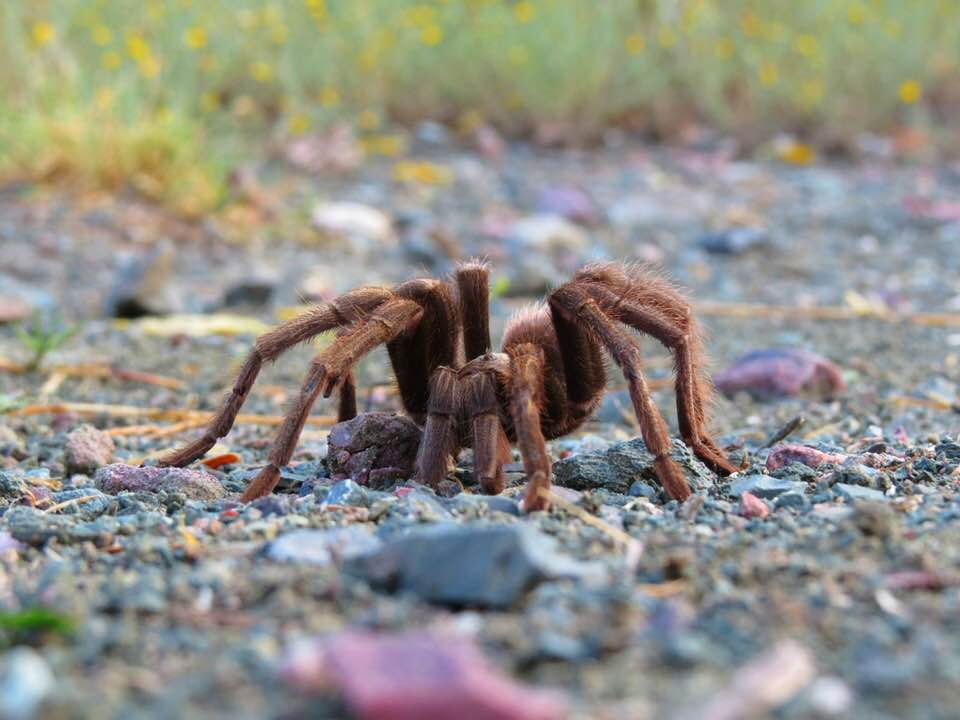 Close up of tarantula spotted along the Arizona Trail