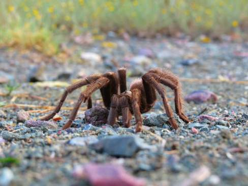 Close up of tarantula spotted along the Arizona Trail