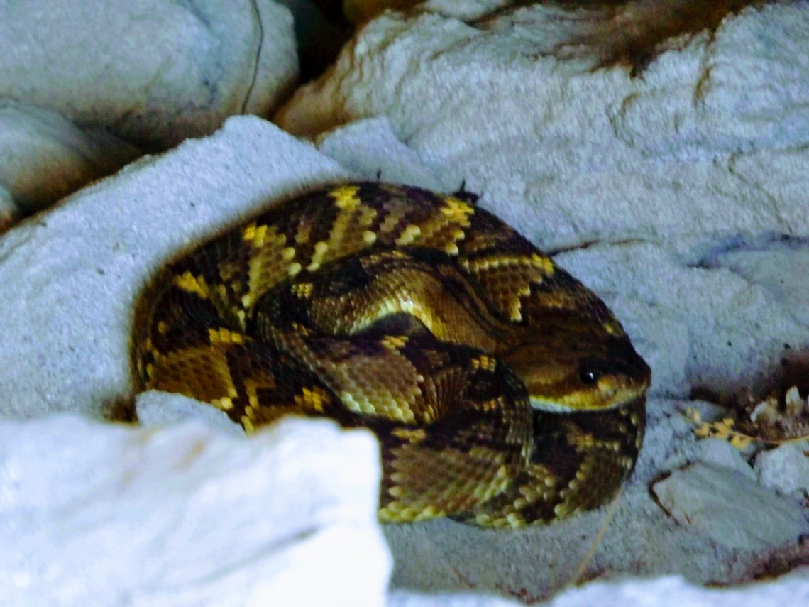 Rattlesnake coiled up in a small rock cave.