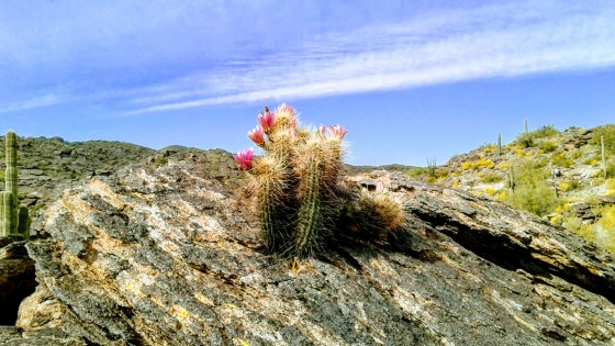 Hedgehog cactus growing out of a rock