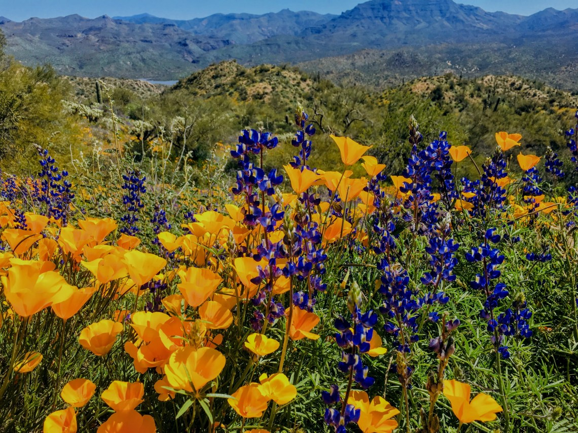 Poppies and lupines at Bartlett Lake