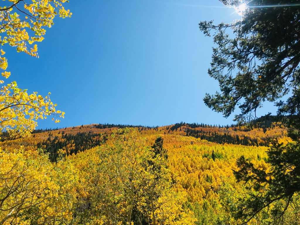 Hillside covered with aspen trees