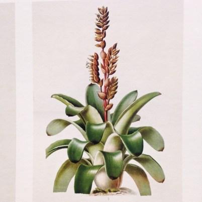Postales de viaje de Lucila Domínguez: Vriesea itaitiae, de la Colección Instituto de Pesquisas do Rio de Janeiro. Foto