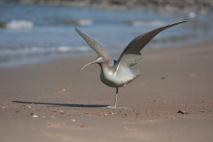 Curlew wings open