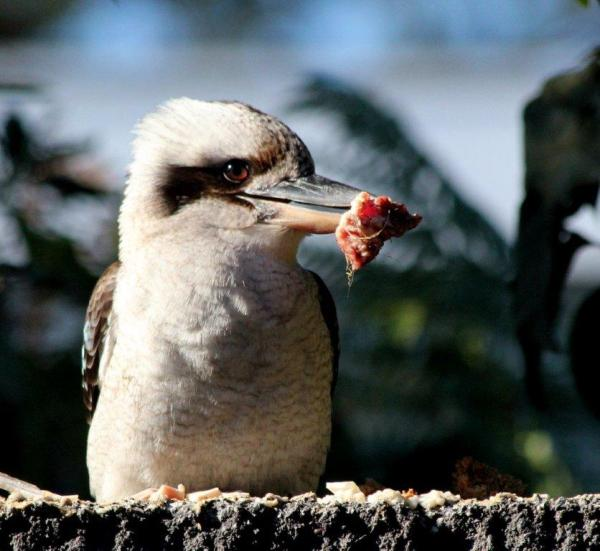 Kookaburra having breakfast by Reginald J. Dunkley