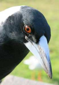 Magpie popping in for a visit. Taken by Reginald J. Dunkley
