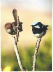 Female and male Fairy Wren at Shelly Beach. Taken by Reginald  J. Dunkley