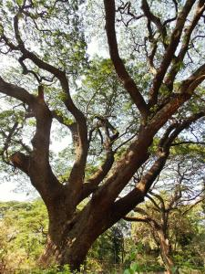 Great Rain Tree- Finger like branches seeking rain from the sky above.