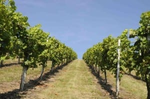 Among rows in the vineyard