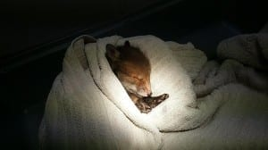 Baby Fox cub from Eastbourne