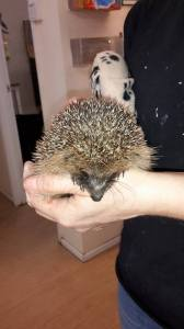 Hedgehog the hedgehog an early baby of 2015