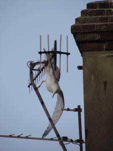 Gull caught on aerial in Bexhill