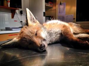 Road Casualty Fox from Hailsham