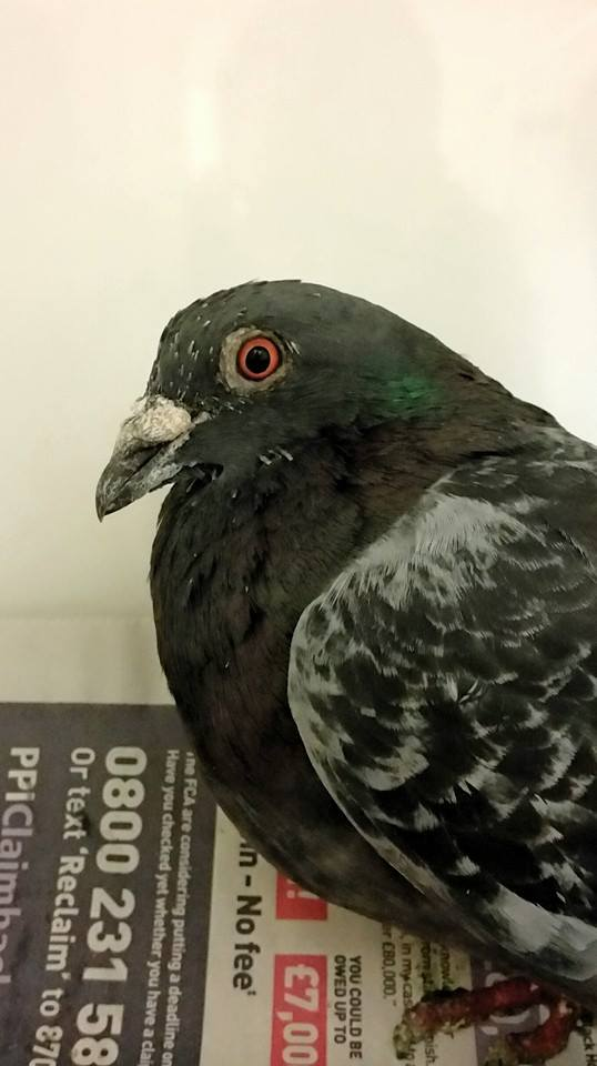 Mature PIgeon from Eastbourne