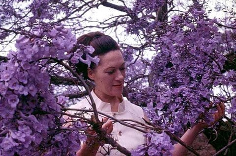 Jacaranda Festival in Grafton Taken by Reginald J. Dunkley