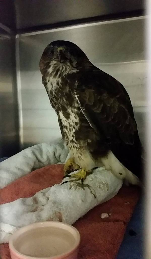 Buzzard collected from Raystede