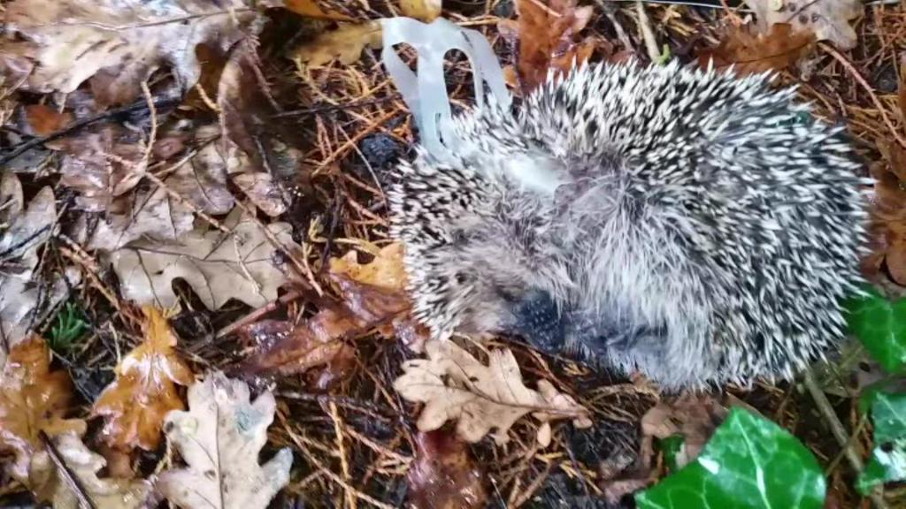 Hedgehog Rescue Hampden Park 4th Nov 2015 Trevor Weeks cutting Hedgehog free (1)