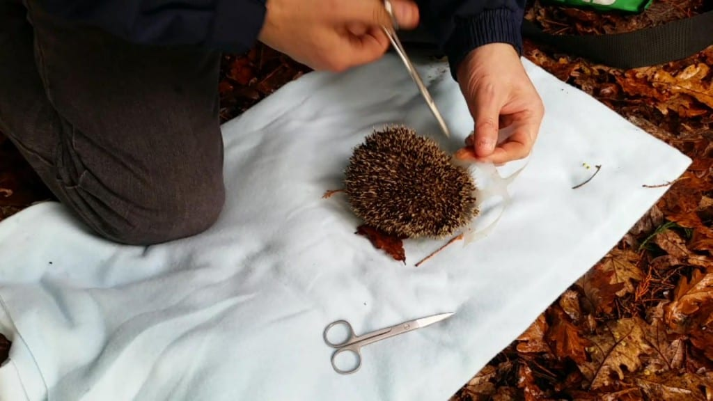 Hedgehog Rescue Hampden Park 4th Nov 2015 Trevor Weeks cutting Hedgehog free (2)