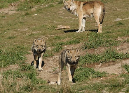 Wolf mother and cubs