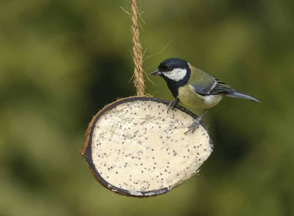 Great Tit. Photo_ Chris Gomersall rspb-images