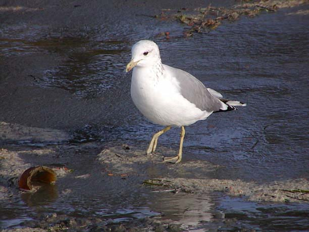 A brightly-colored adult California Gull at Chesterman Beach BC, October 13, 2003.