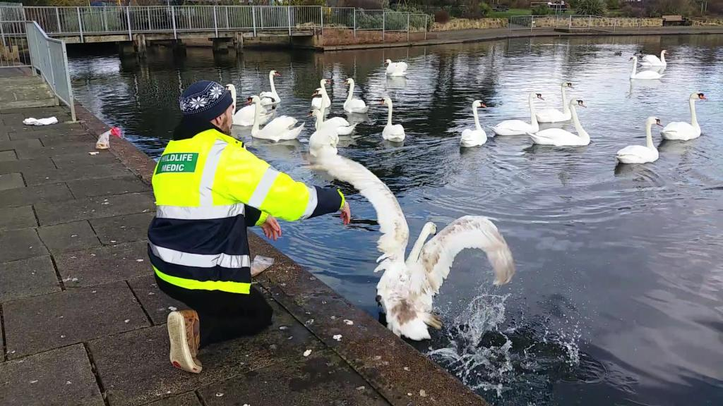 Swan entangled in rope at Princes Park 23rd Feb 16 (1)