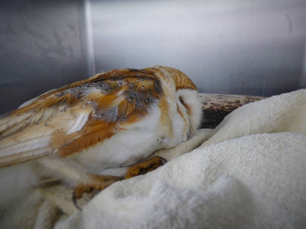 Very Poorly Barn Owl from Lewes