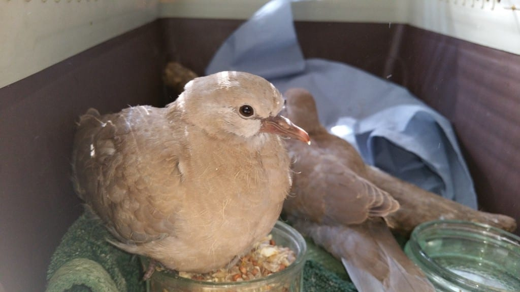 New Collared Dove