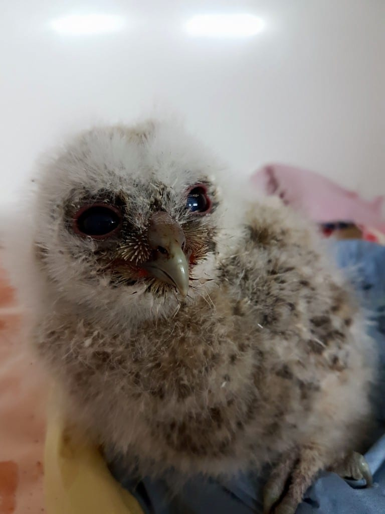 Tawny Owl Chick delivered by International Animal Rescue