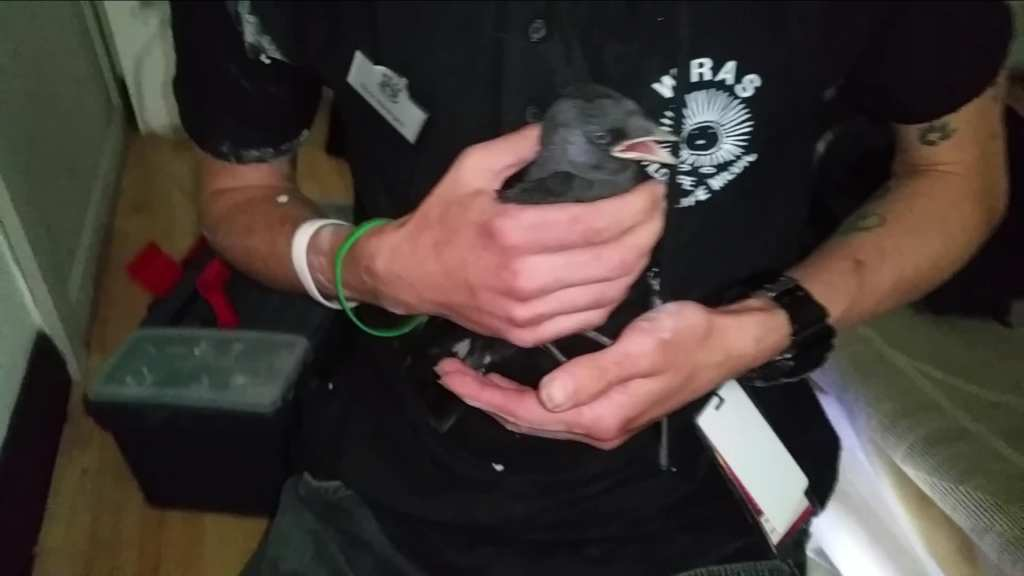 Jackdaw rescued from Chimney