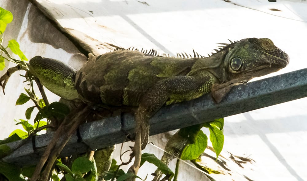 Friendly-iguana-keeps-watch