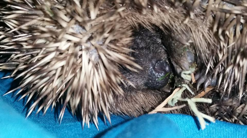 One of the injured young hedgehogs from Hurstpierpoint (1)