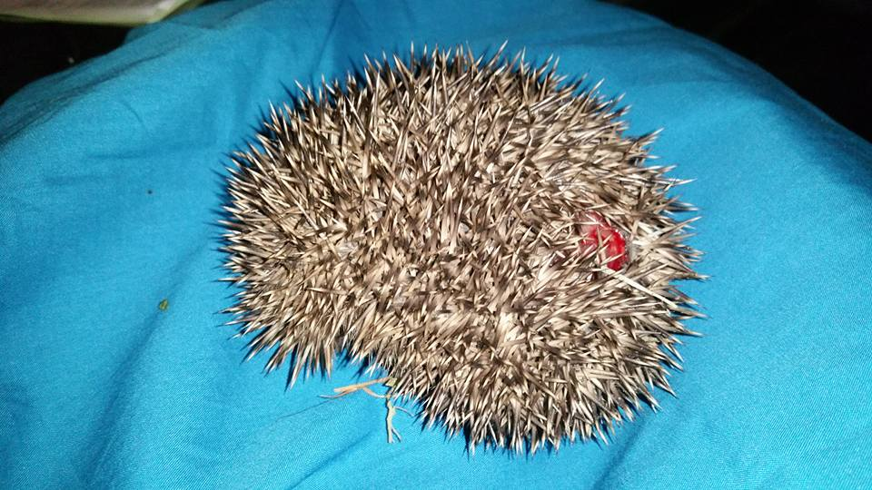 One of the injured young hedgehogs from Hurstpierpoint (2)