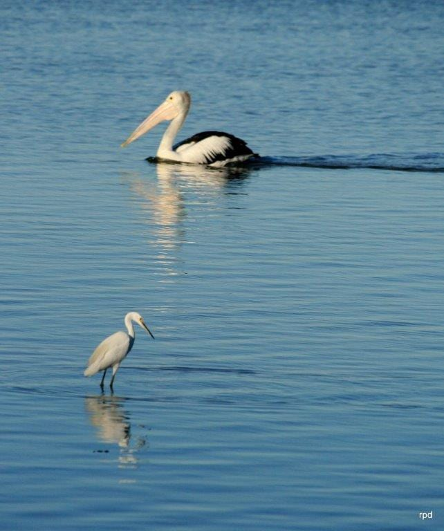 Tuggerah Lake pelican and egret