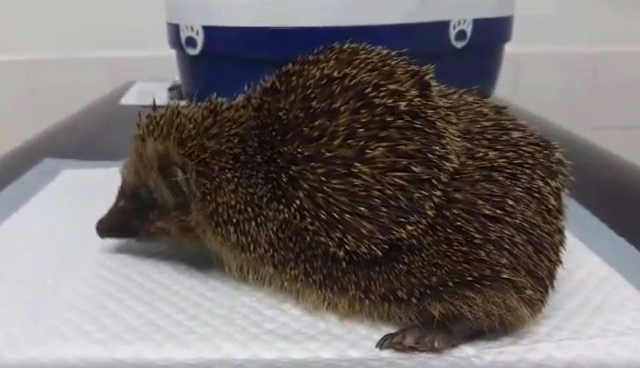 hedgehog-with-tennis-ball-abscess-on-back