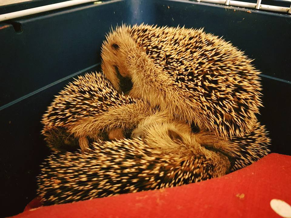 snuggled-up-hedgehogs-from-ringmer