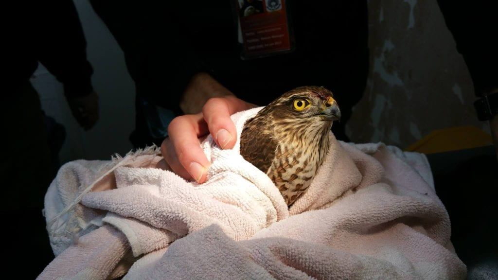 Sparrowhawk-from-City-Electrical-Factors-in-Eastbourn