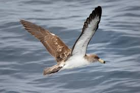 The-Mediterranean-Shearwater-Cory