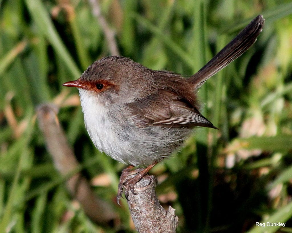 Bird female wren