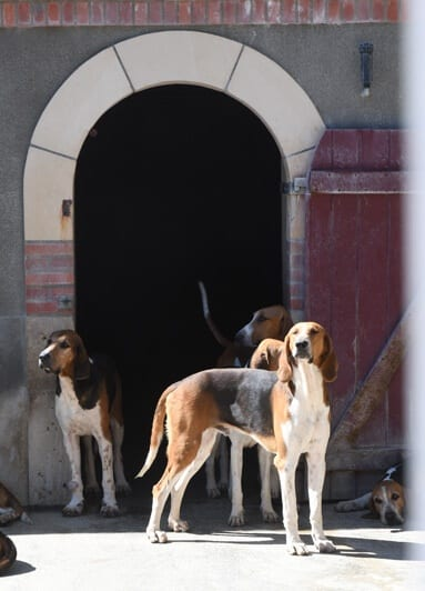 Anglo French tri colour hounds