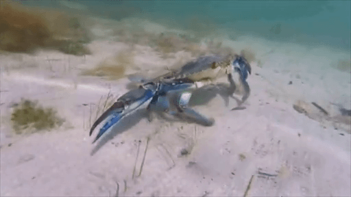 MalDia The Blue Swimmer Crab an invader from the Indian Ocean