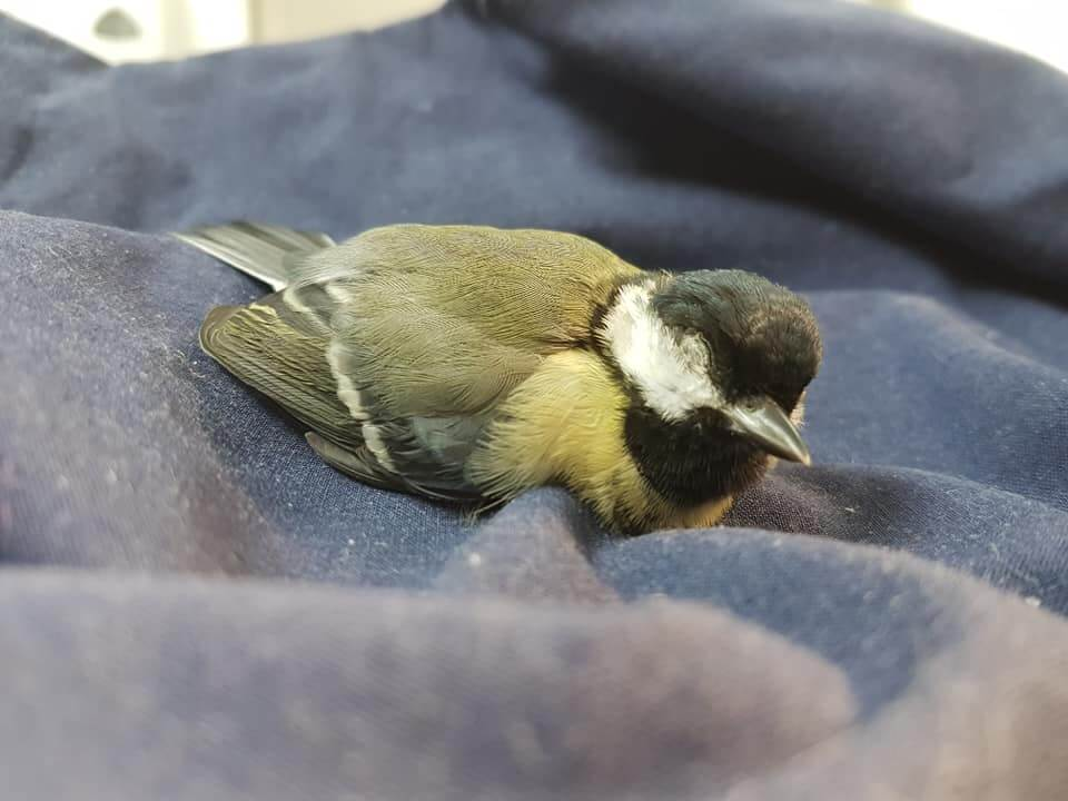 Great Tit suffering from a Tick Bite
