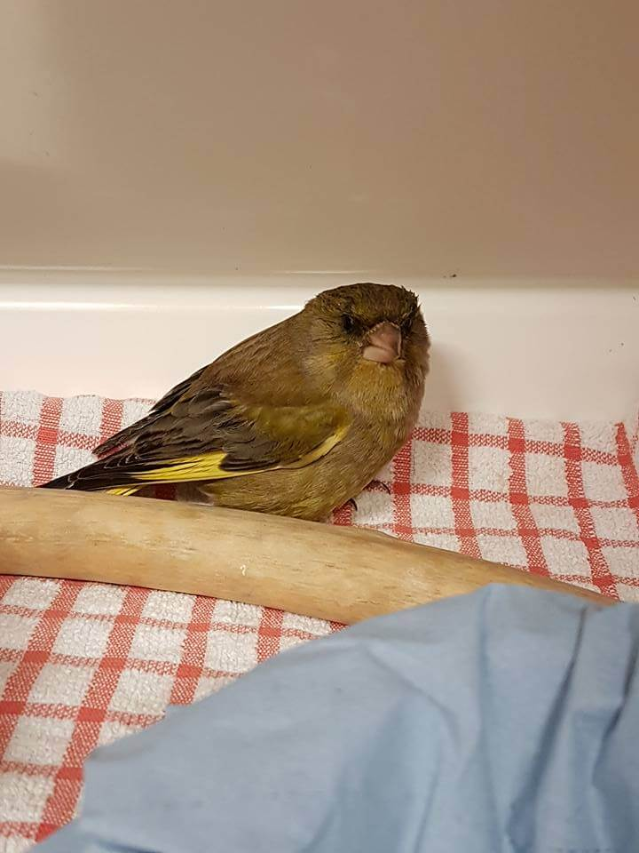 Lethergic Greenfinch after being bitten by a tick